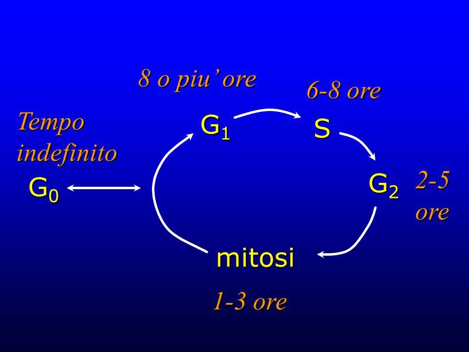 8 o piu' ore 6-8 ore Tempo indefinito G1 S 2-5 ore G2 G0 mitosi 1-3 ore