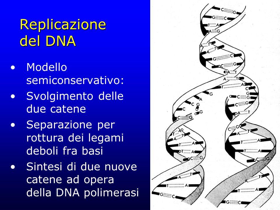 Replicazione del DNA Modello semiconservativo: