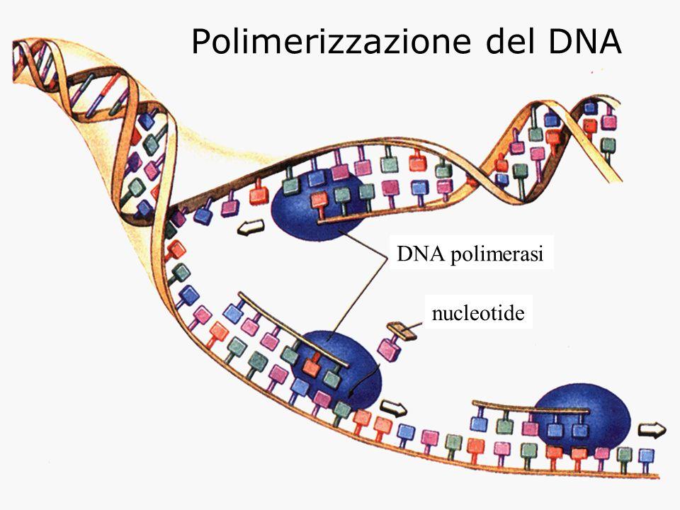 Polimerizzazione del DNA