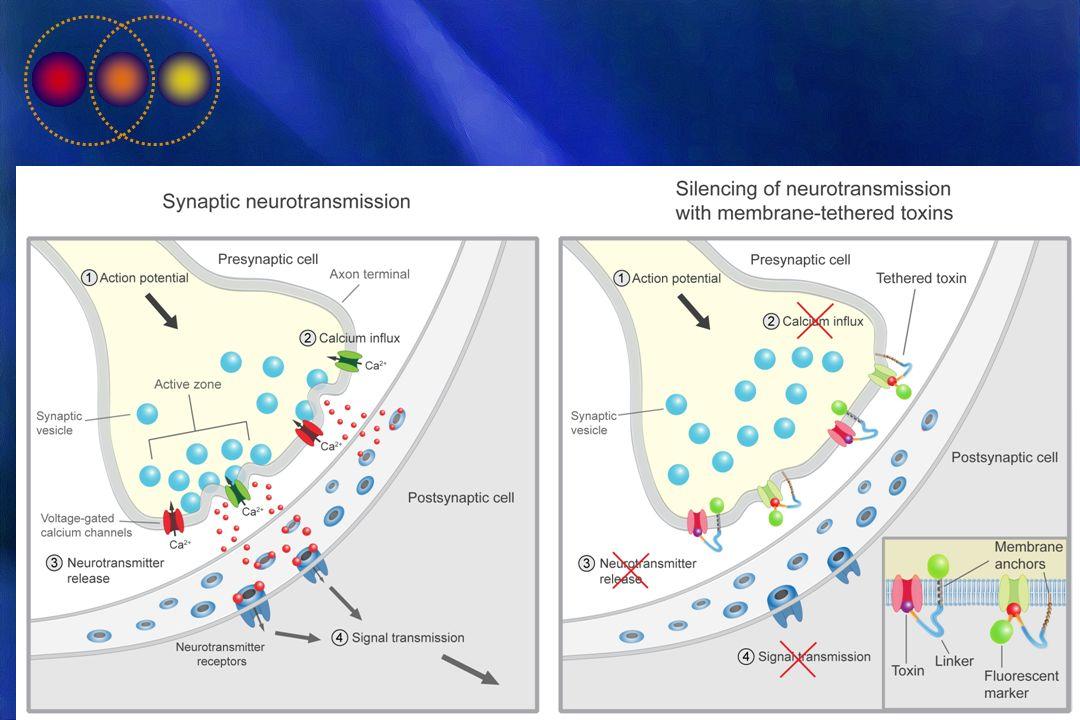 I ricercatori hanno infatti scoperto che in vivo e in vitro la Ziconotide si lega ai canali del calcio di tipo N dei neuroni, bloccando selettivamente l entrata di questo ione.