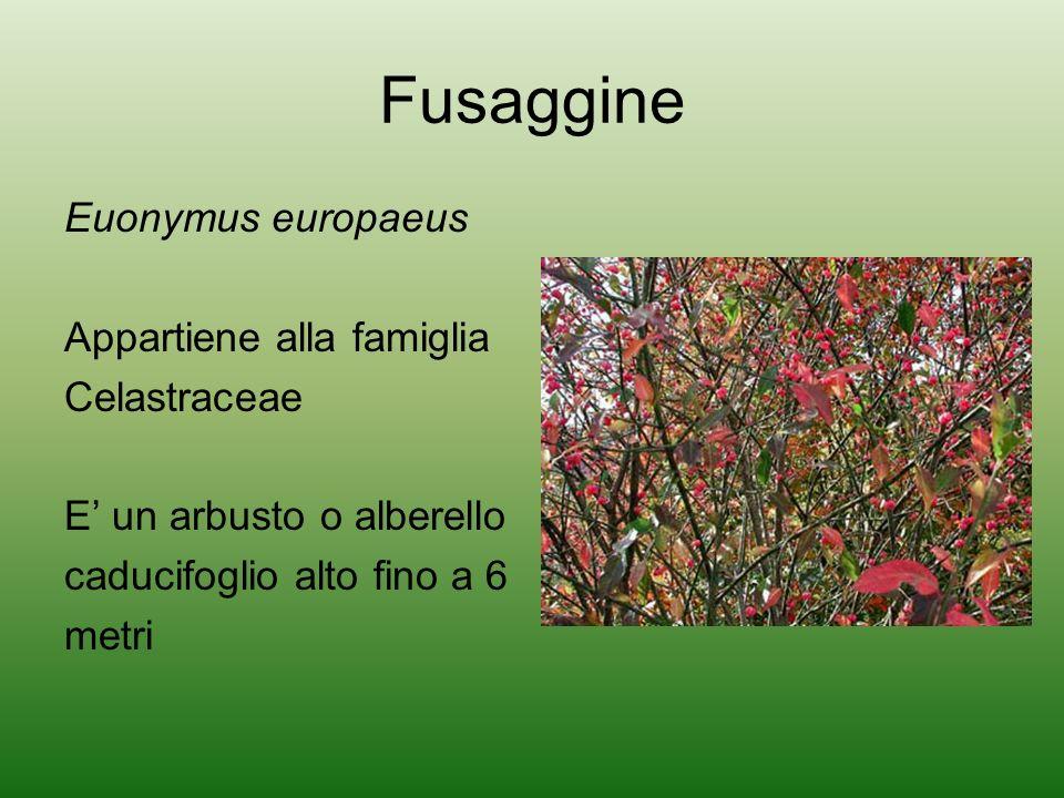 Fusaggine Euonymus europaeus Appartiene alla famiglia Celastraceae