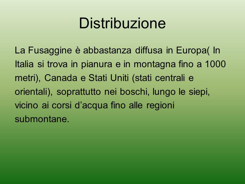 Distribuzione La Fusaggine è abbastanza diffusa in Europa( In