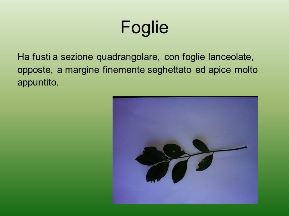Foglie Ha fusti a sezione quadrangolare, con foglie lanceolate,