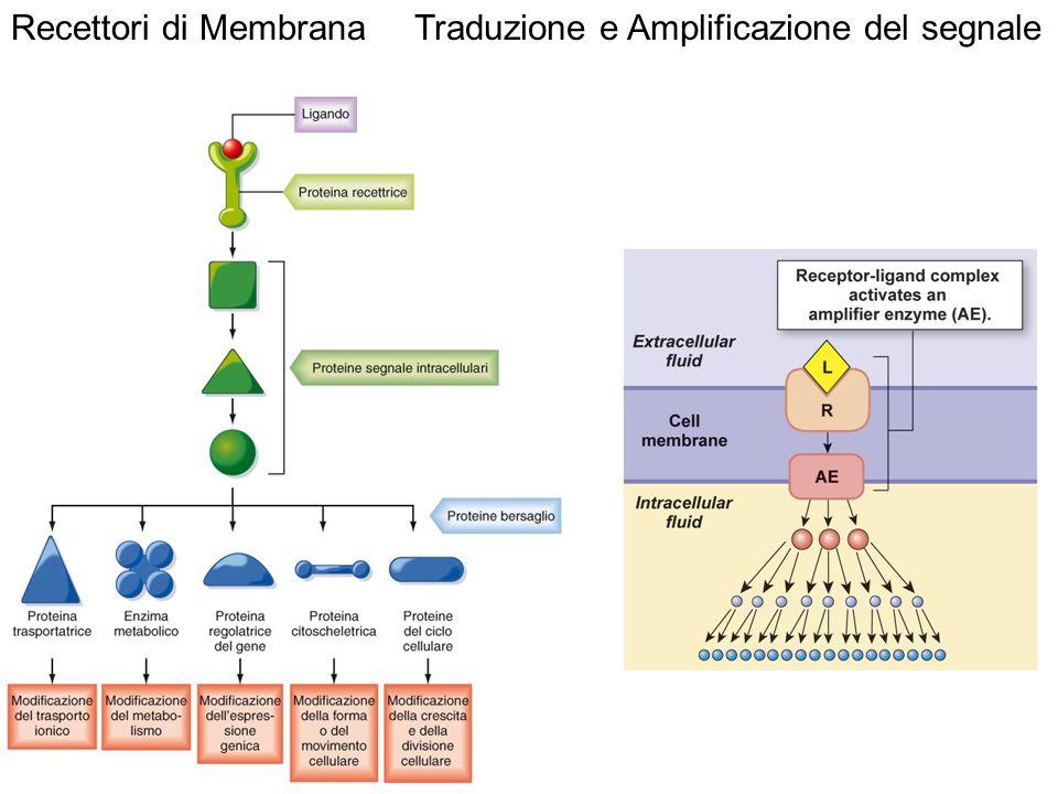 Traduzione e Amplificazione del segnale