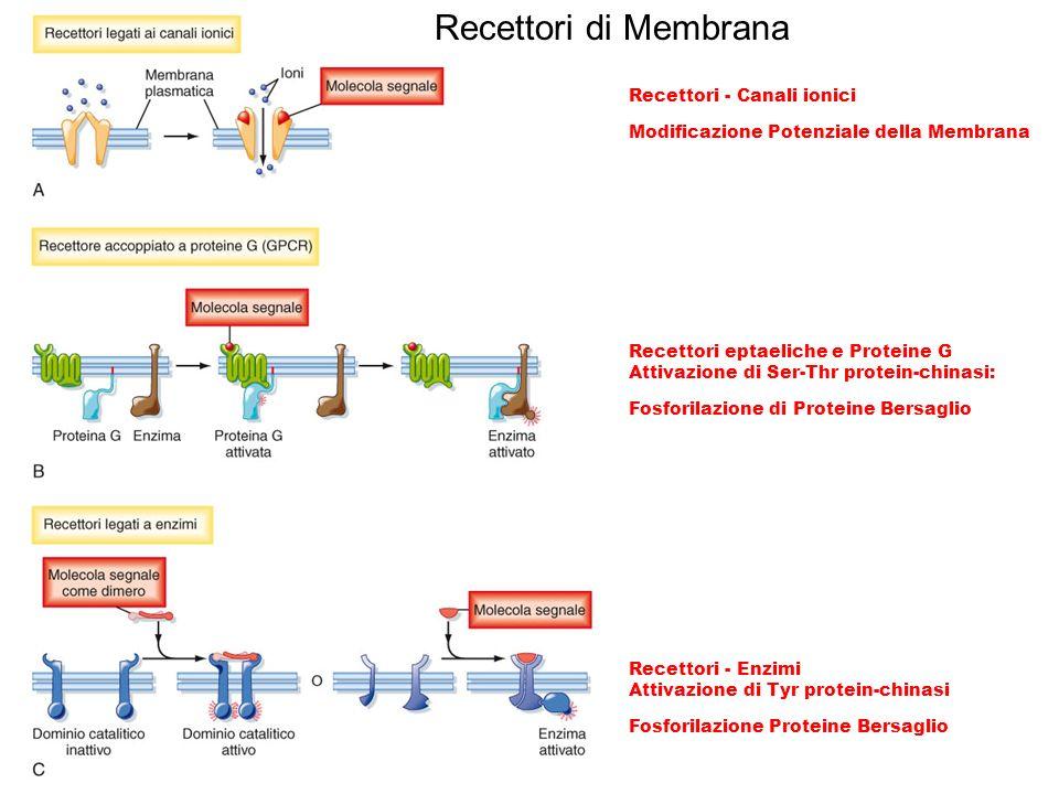 Recettori di Membrana Recettori - Canali ionici