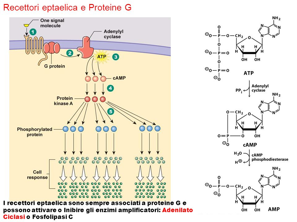 Recettori eptaelica e Proteine G