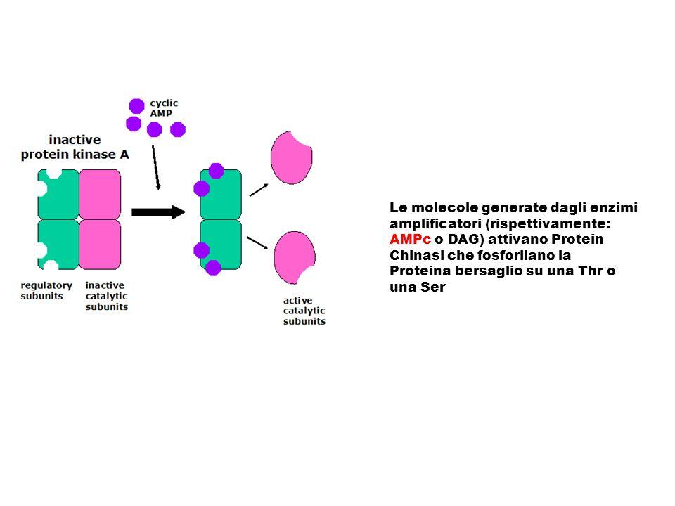 Le molecole generate dagli enzimi amplificatori (rispettivamente: