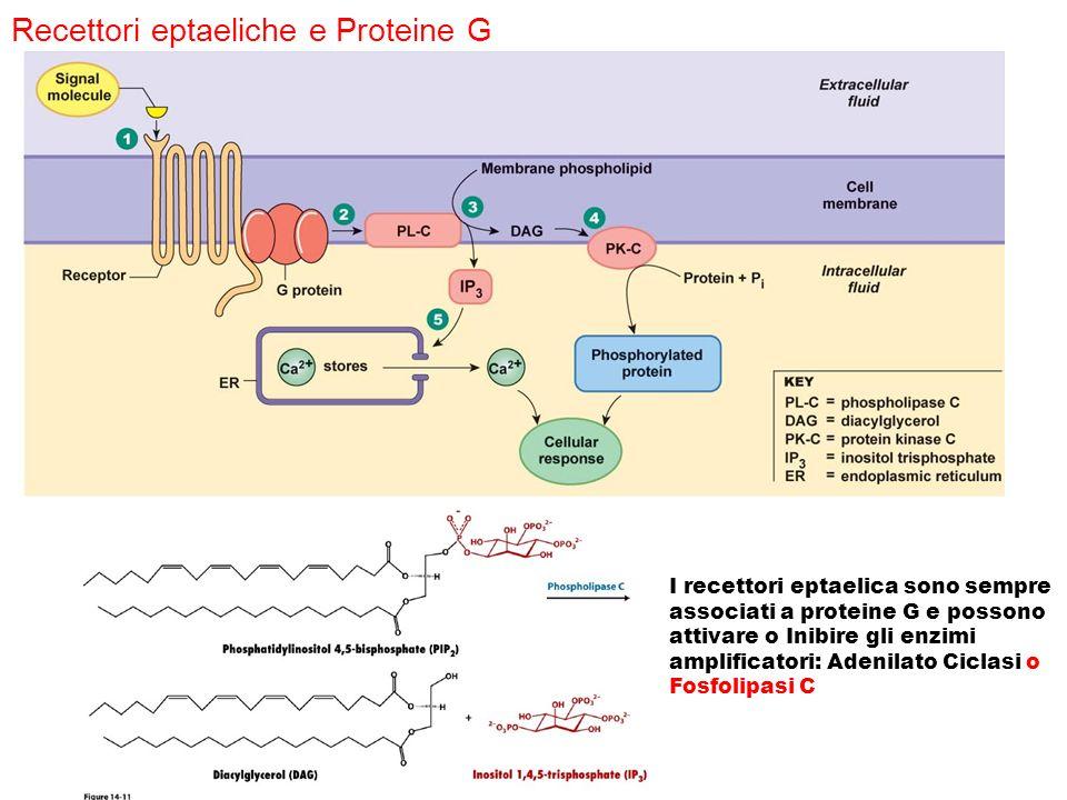 Recettori eptaeliche e Proteine G