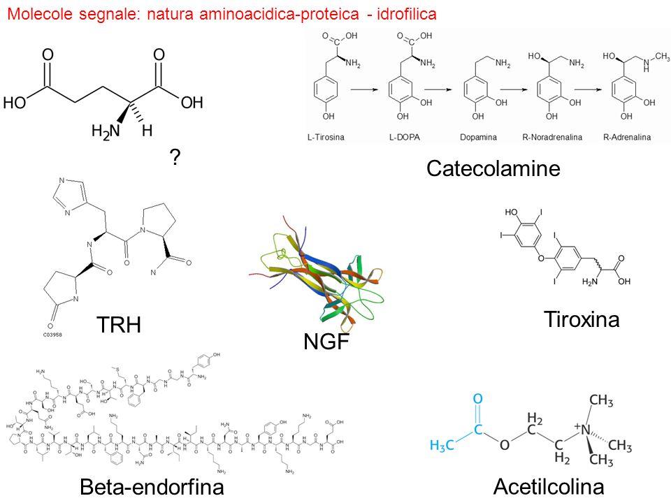 Catecolamine Tiroxina TRH NGF Beta-endorfina Acetilcolina