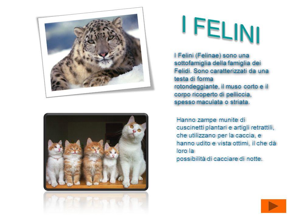 I FELINI I Felini (Felinae) sono una sottofamiglia della famiglia dei Felidi. Sono caratterizzati da una testa di forma.