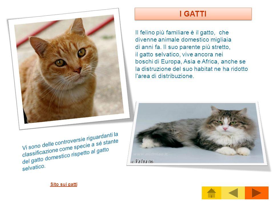 I GATTI Il felino più familiare è il gatto, che