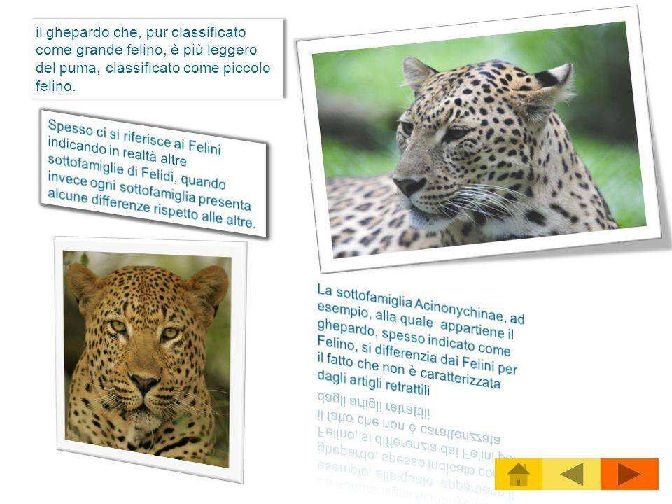 il ghepardo che, pur classificato