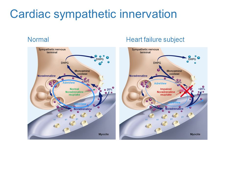 Cardiac sympathetic innervation