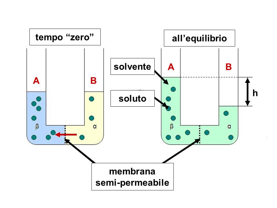 tempo zero all'equilibrio membrana semi-permeabile soluto solvente h A B