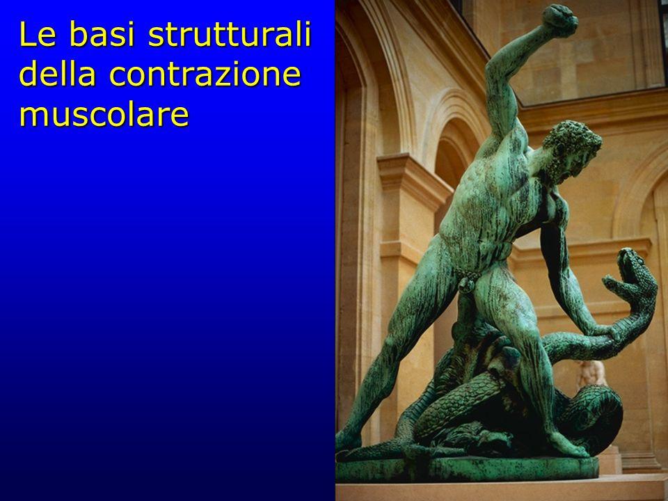 Le basi strutturali della contrazione muscolare