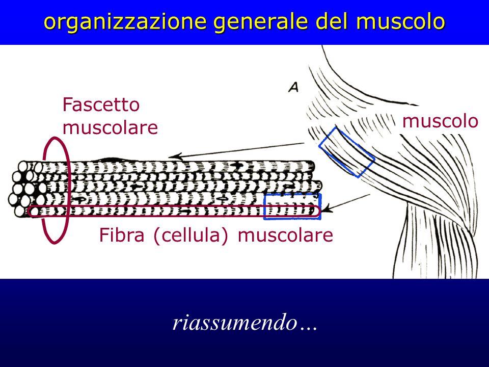 organizzazione generale del muscolo