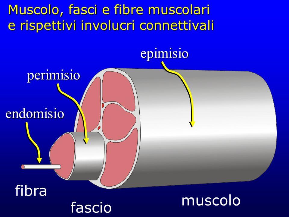 Muscolo, fasci e fibre muscolari e rispettivi involucri connettivali
