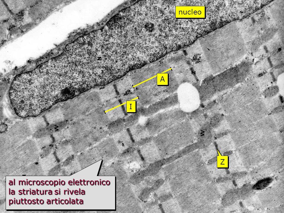 striato TEM nucleo A I Z al microscopio elettronico la striatura si rivela piuttosto articolata
