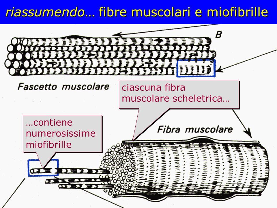 riassumendo… fibre muscolari e miofibrille