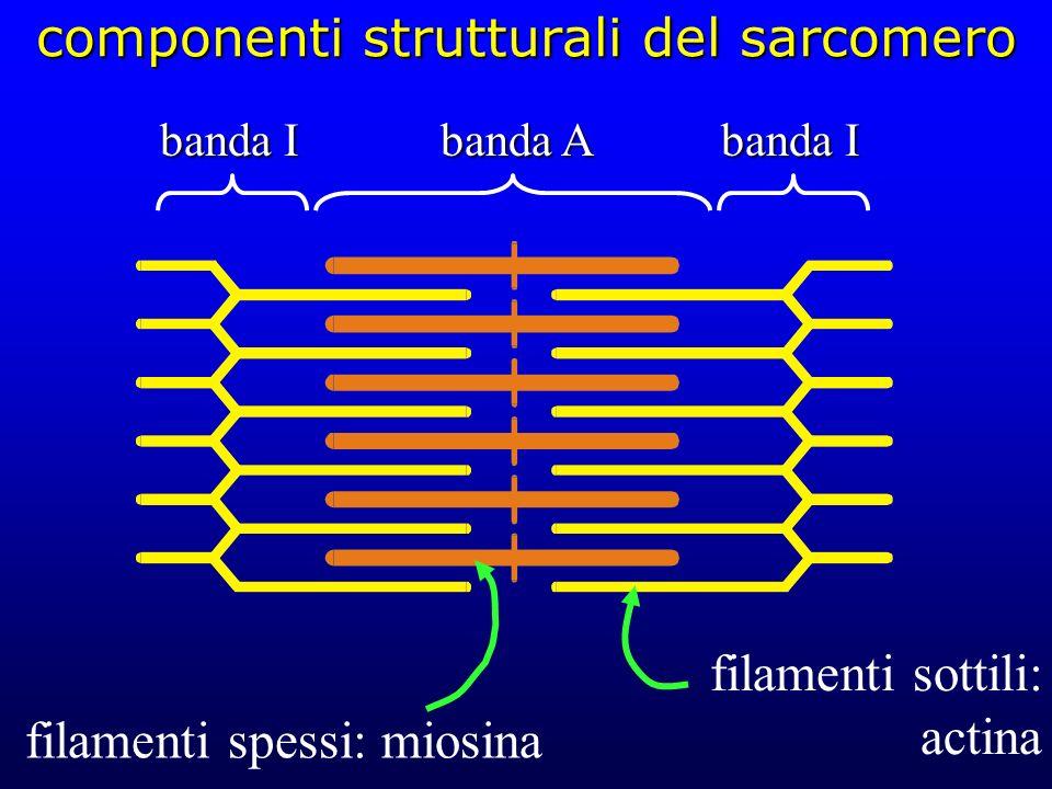 componenti strutturali del sarcomero