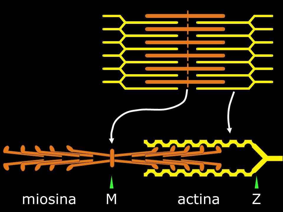 miosina M actina Z
