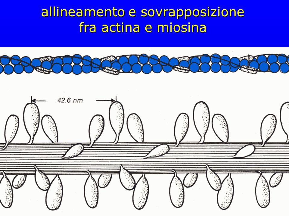 allineamento e sovrapposizione fra actina e miosina