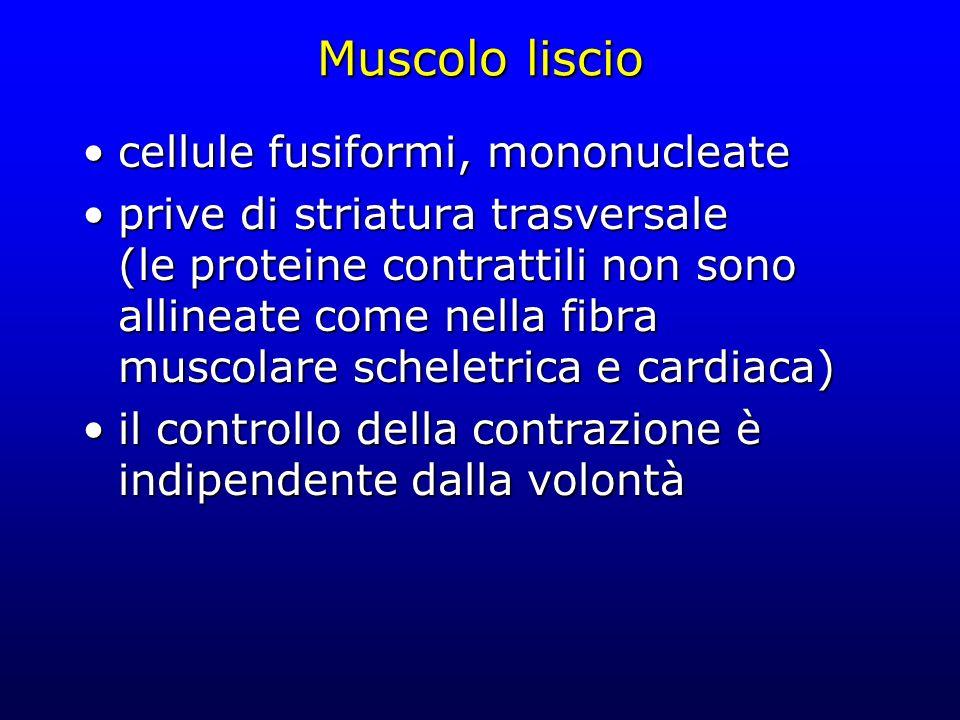 Muscolo liscio cellule fusiformi, mononucleate