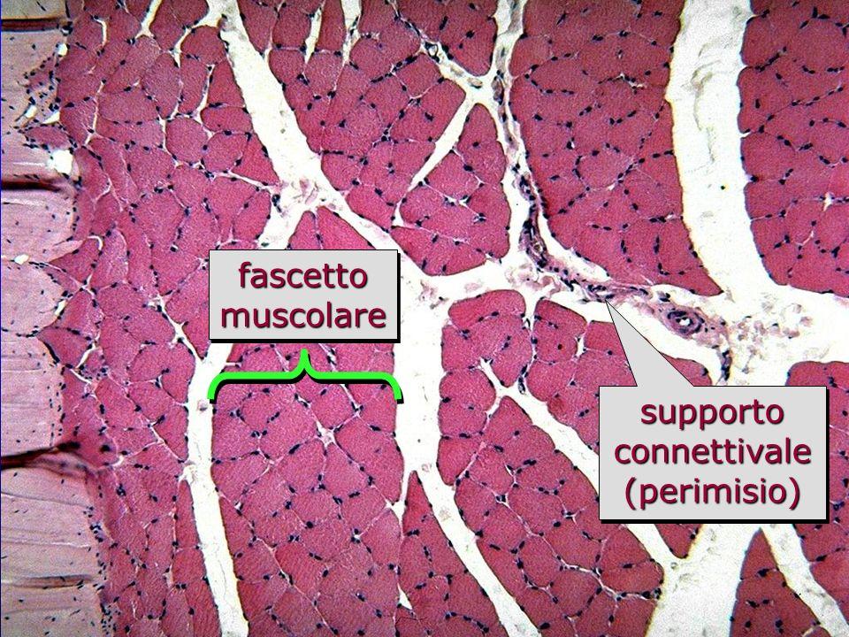 muscolo scheletrico in sezione trasversale