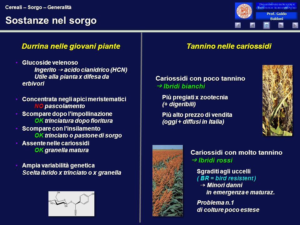 Sostanze nel sorgo Durrina nelle giovani piante
