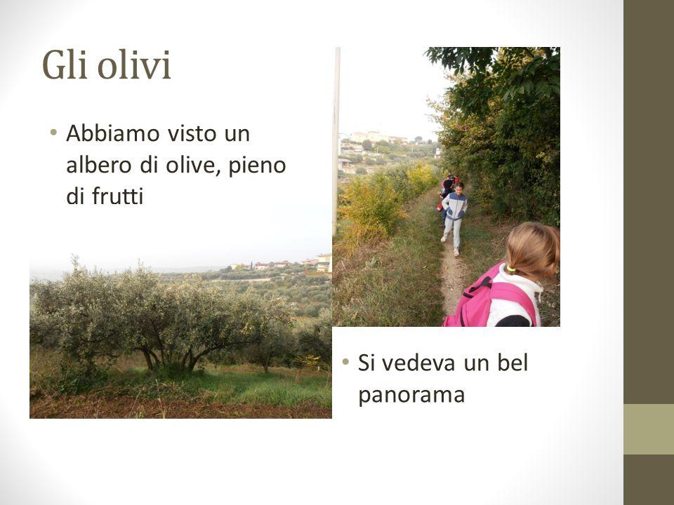 Gli olivi Abbiamo visto un albero di olive, pieno di frutti