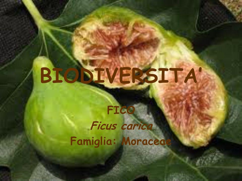 FICO Ficus carica Famiglia: Moraceae