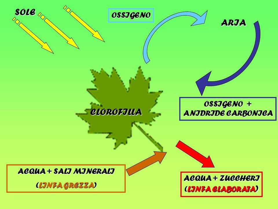 SOLE ARIA CLOROFILLA OSSIGENO OSSIGENO + ANIDRIDE CARBONICA