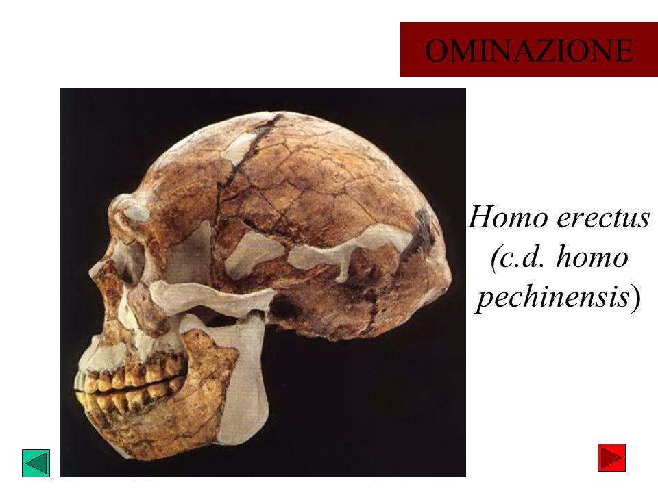 Homo erectus (c.d. homo pechinensis)