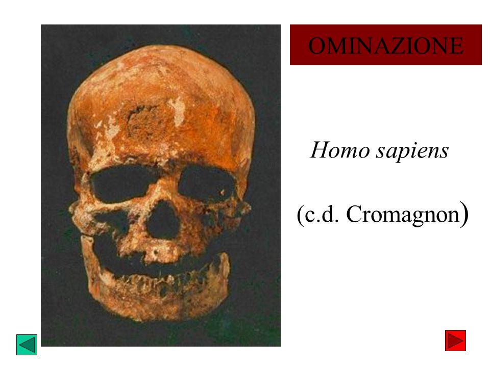 Homo sapiens (c.d. Cromagnon)