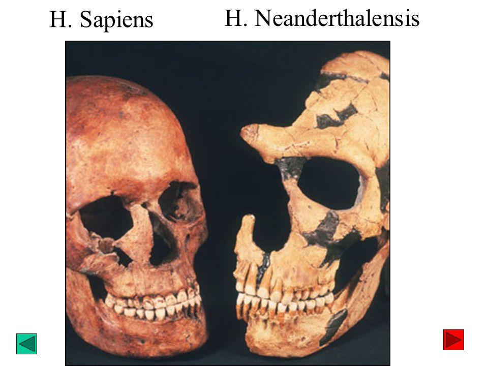 H. Sapiens H. Neanderthalensis