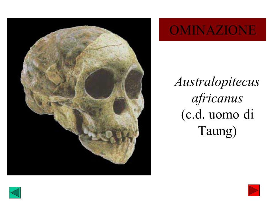 Australopitecus africanus (c.d. uomo di Taung)