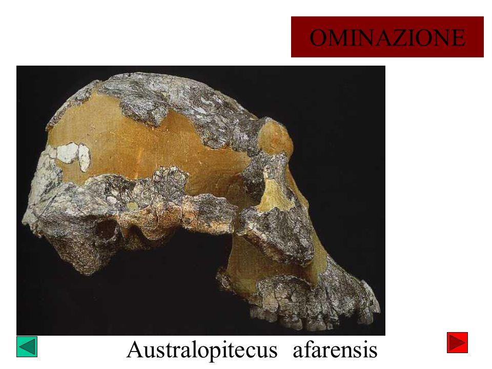 Australopitecus afarensis