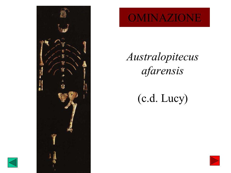 Australopitecus afarensis (c.d. Lucy)