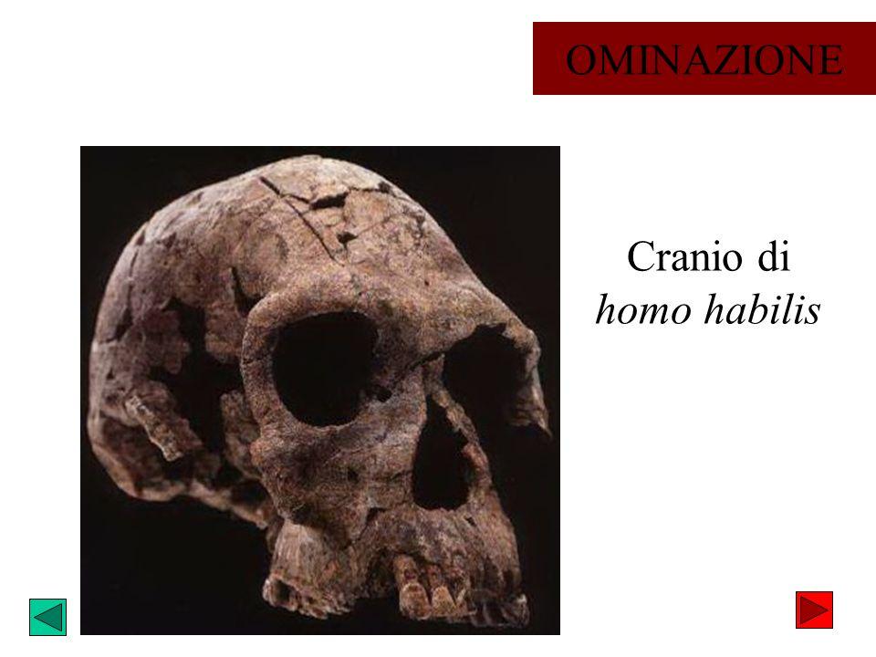 OMINAZIONE Cranio di homo habilis