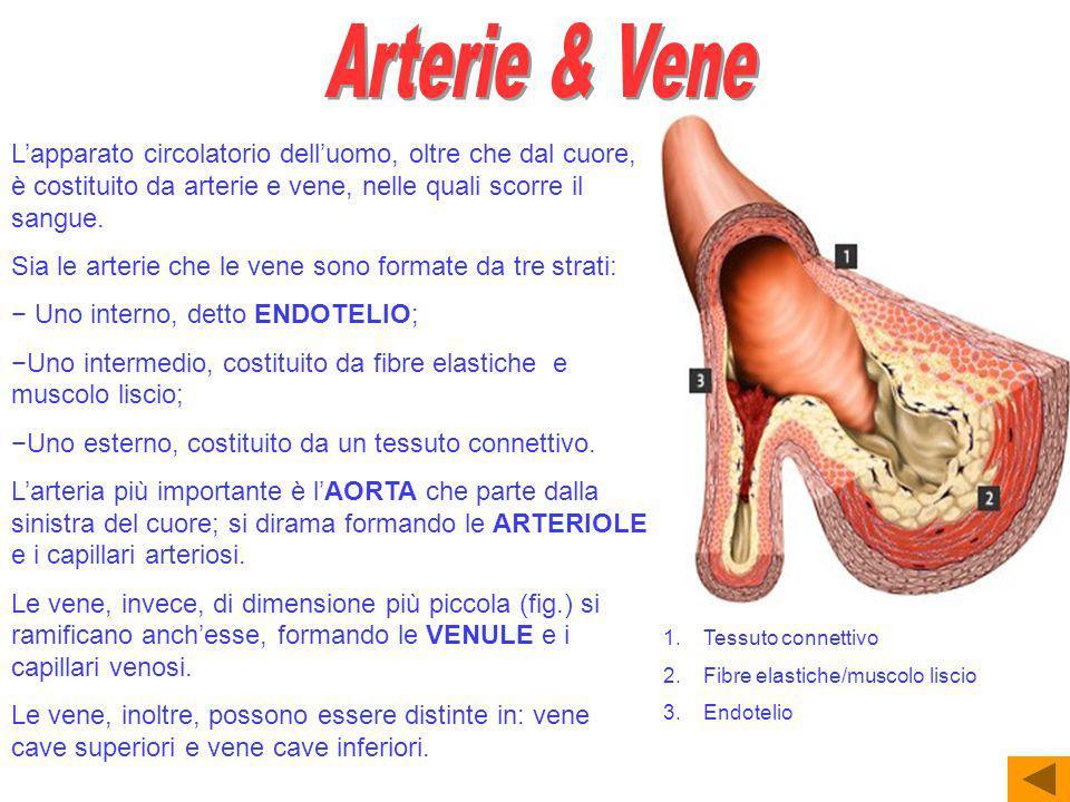 Arterie & Vene L'apparato circolatorio dell'uomo, oltre che dal cuore, è costituito da arterie e vene, nelle quali scorre il sangue.