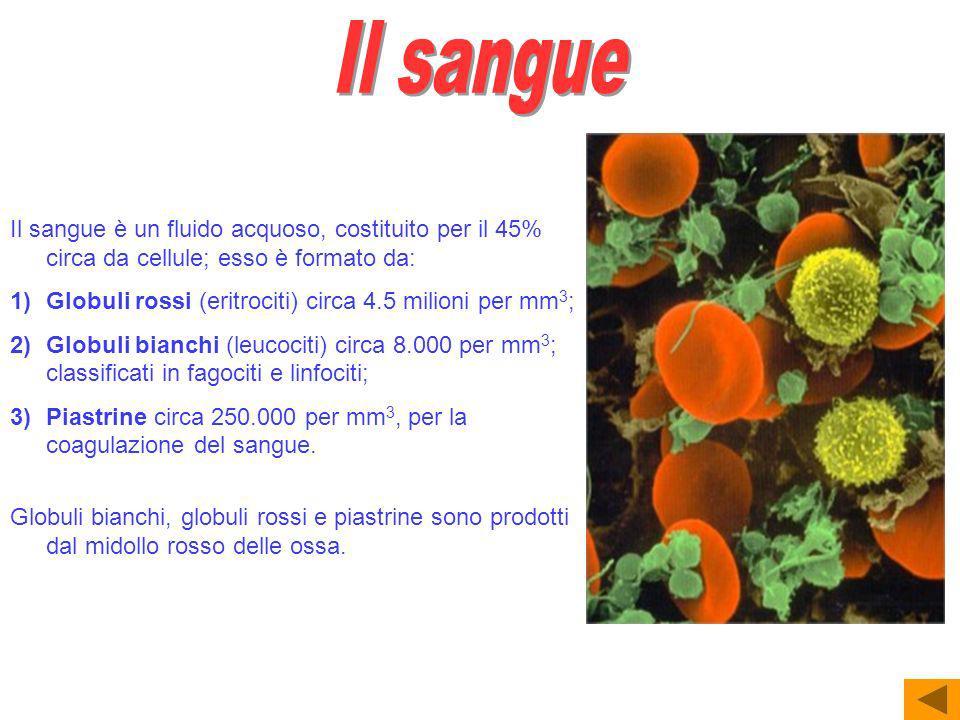 Il sangue Il sangue è un fluido acquoso, costituito per il 45% circa da cellule; esso è formato da: