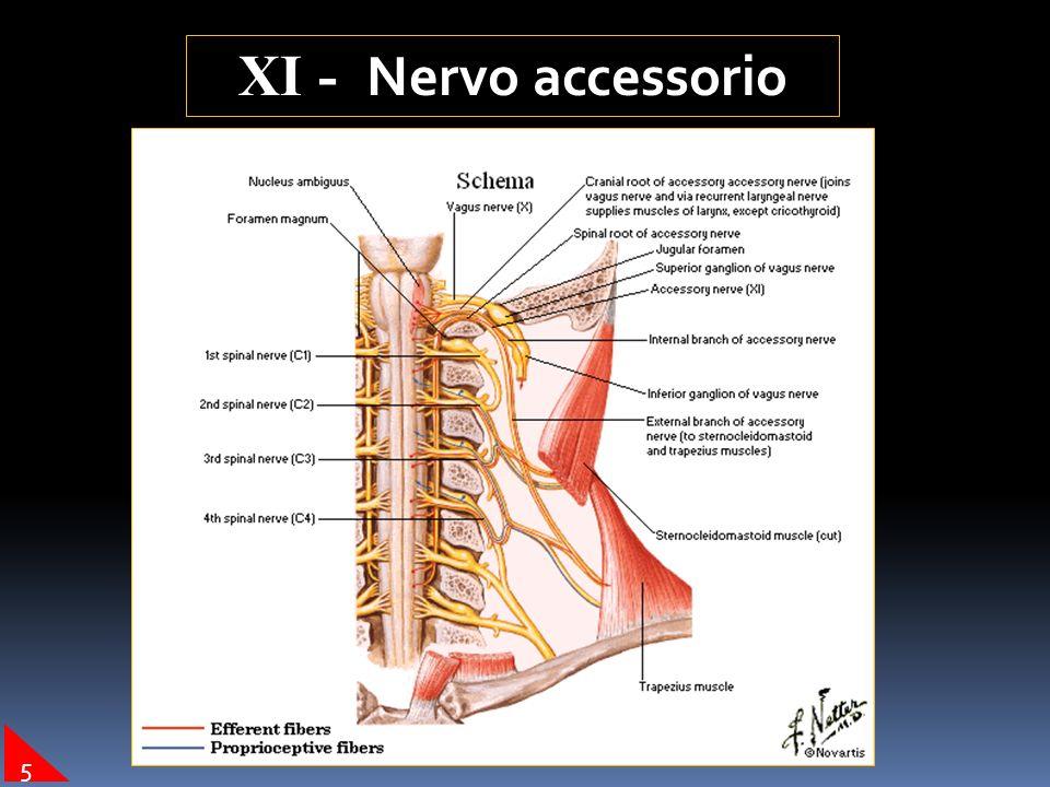 XI - Nervo accessorio 5