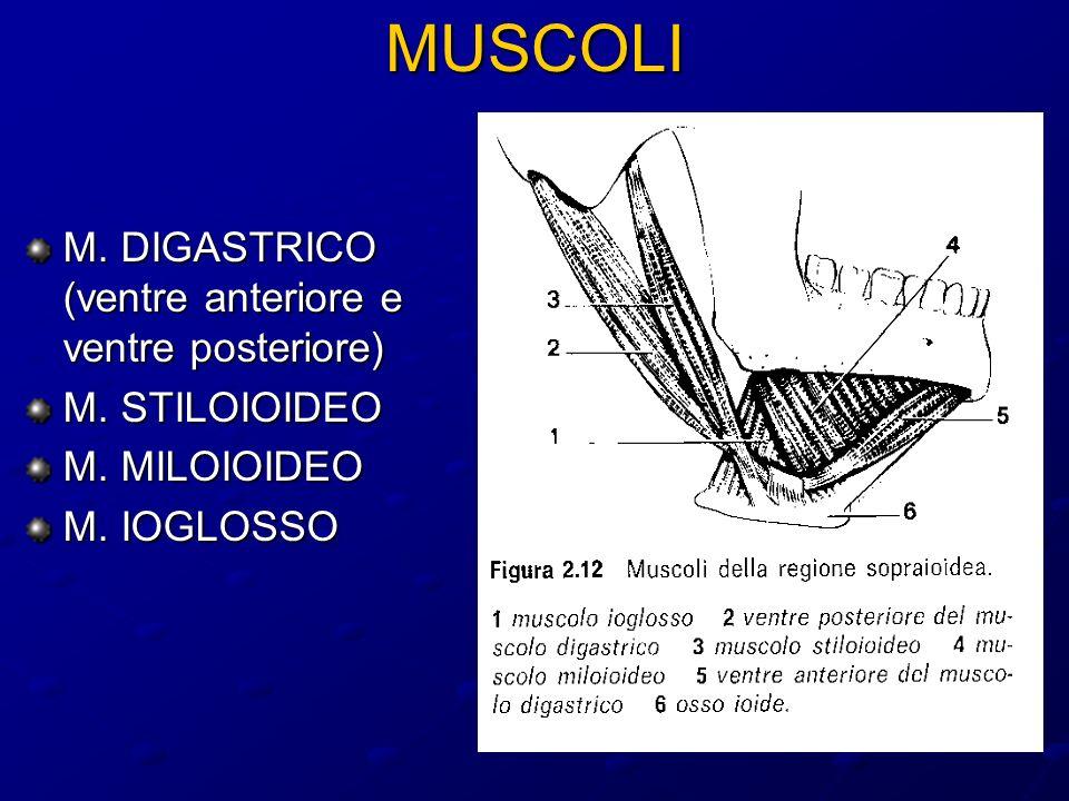 MUSCOLI M. DIGASTRICO (ventre anteriore e ventre posteriore)