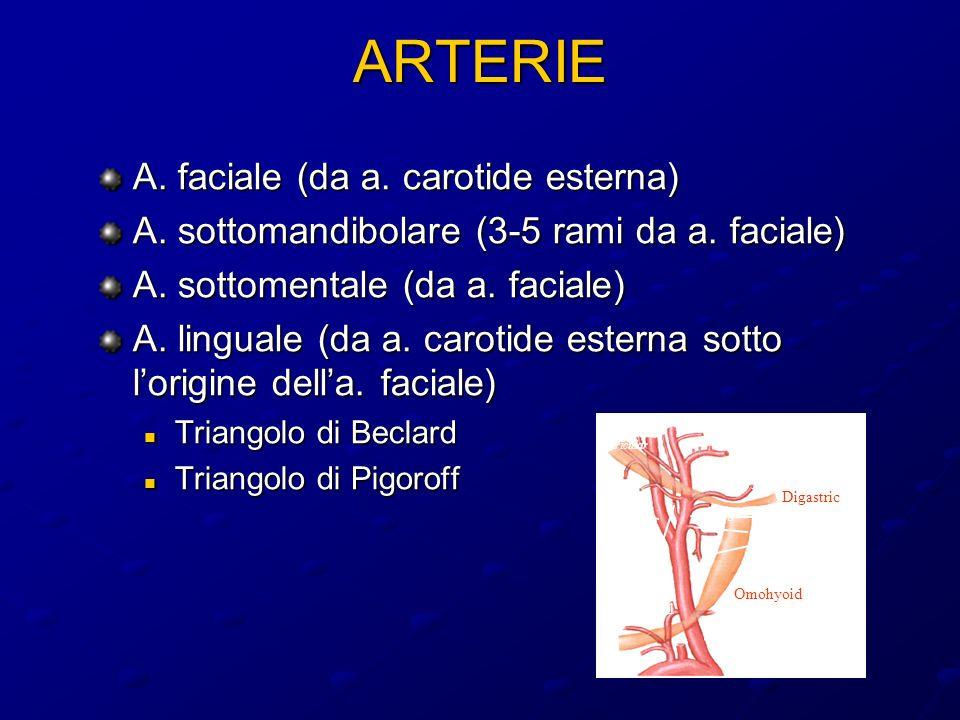 ARTERIE A. faciale (da a. carotide esterna)