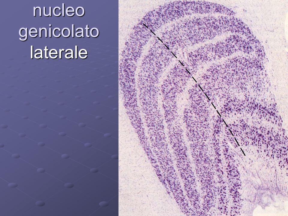 nucleo genicolato laterale