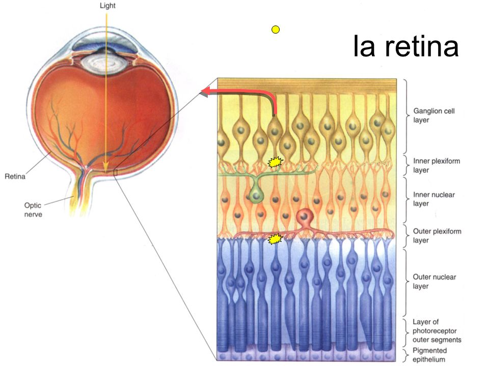 la retina