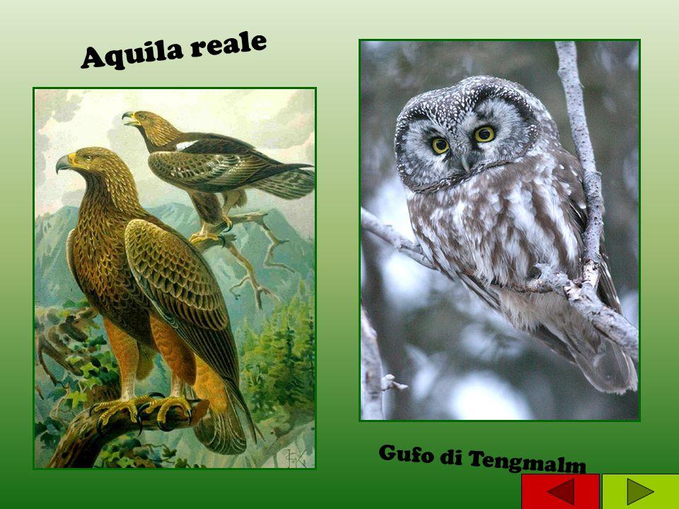 Aquila reale Gufo di Tengmalm