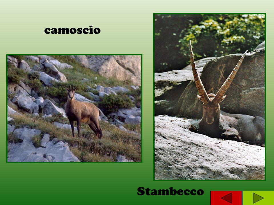 camoscio Stambecco