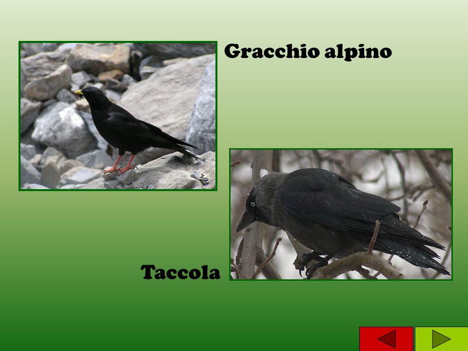 Gracchio alpino Taccola