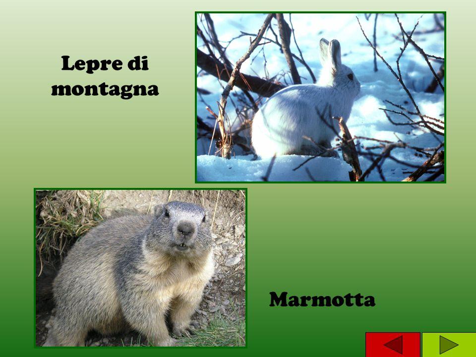 Lepre di montagna Marmotta